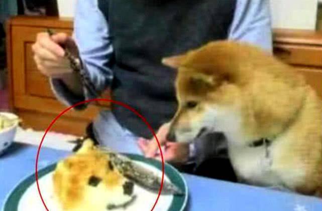 原创 狗狗偷吃成瘾,主人为了让它长记性,使出这招让狗子奔溃不已