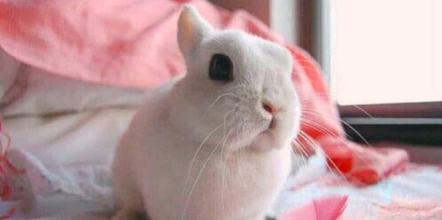 """原创 世界上""""最大""""的兔子,一年吃掉两万多元的伙食费,不是土豪别养"""
