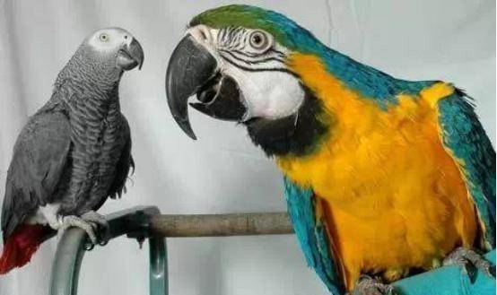 为啥大型鹦鹉越来越贵,而小型鹦鹉却越来越便宜?图片
