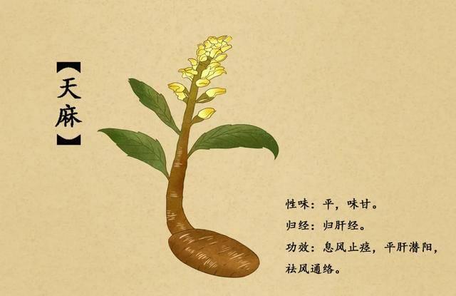 """這款""""神仙草""""治好了曹操的頭疼病——天麻的傳說"""