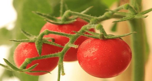 大番茄VS圣女果,哪种更适合糖友?