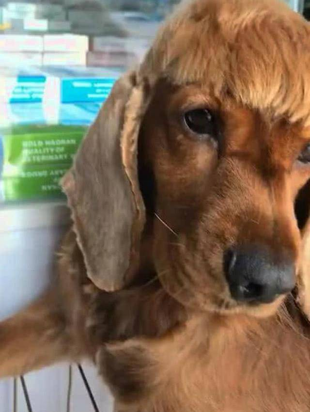原创 女子给狗狗理新发型,没想到越剪越纰谬,看到制品后直言没眼瞧