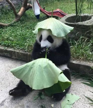 原创            大熊猫被热坏,顺手就摘了个荷叶放头上,游客看去顿时被它萌到