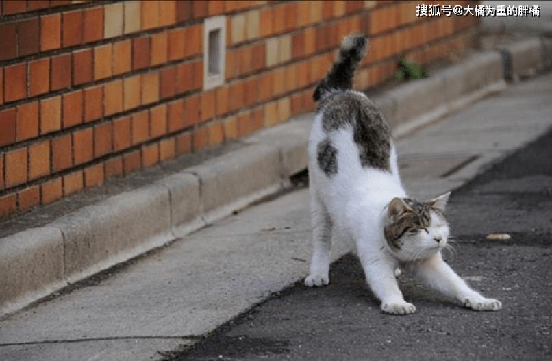 """原创 猫咪""""翘起""""臀部是伸懒腰?确切说有5种意思,你家猫会这样吗?"""