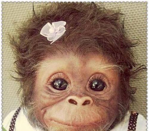 原创 萌出新高度~同样是搞笑,忍了猴子,熊猫也能忍,看到橘猫却笑喷