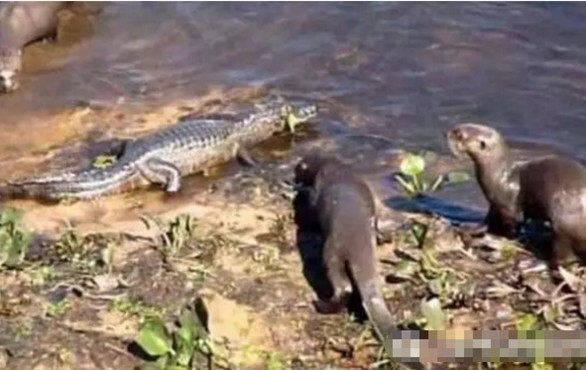 小水濑外出觅食偶遇鳄鱼,本以为胜负已定,结局却让人大吃一惊
