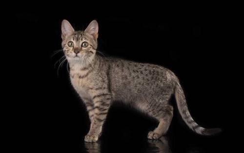 #猫咪#美短脸型尖就是串串吗,