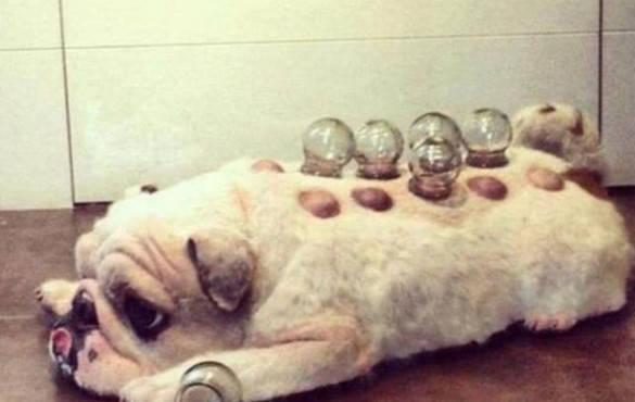 原创 主人想磨炼中药推拿,于是拿八哥犬拔火罐,狗狗的反映让人意外