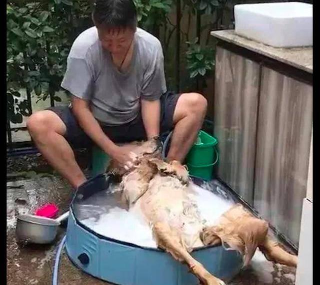 原创 爸爸给金毛沐浴,它舒适的仰面躺在澡盆里,也太会享受了吧!
