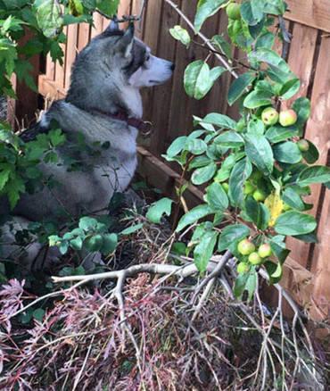 原创 二哈呆坐在花园里,隔着裂缝一直旁观,主人望了一眼无比心疼它
