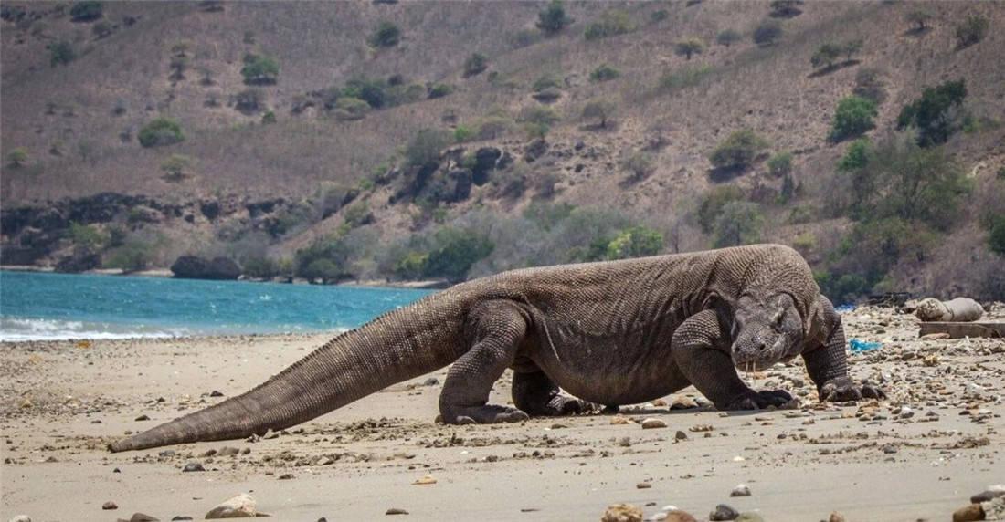 活了4000万年的科莫多龙,能轻松捕食大水牛,20分钟吃掉62斤野猪 (图8)