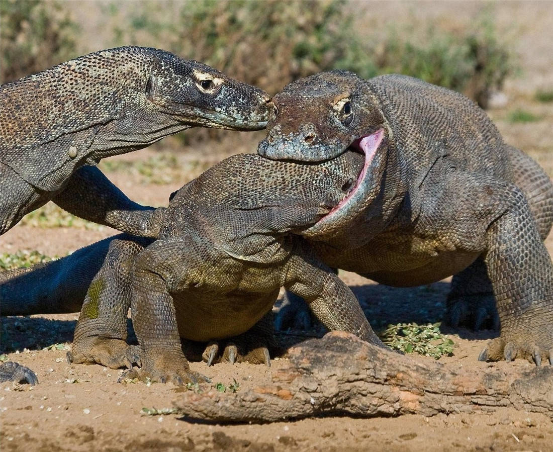 活了4000万年的科莫多龙,能轻松捕食大水牛,20分钟吃掉62斤野猪 (图6)