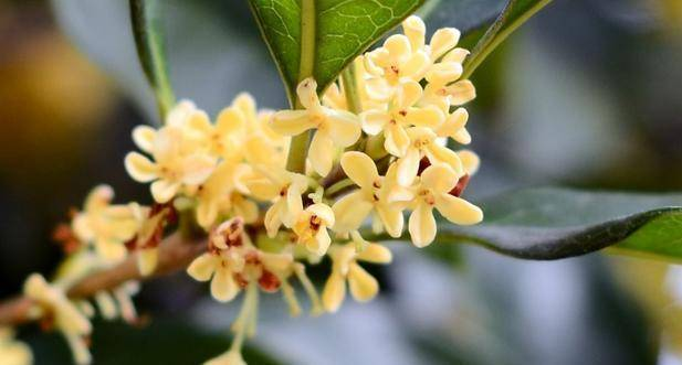 人闲桂花落夜静春山空,桂花的花期在秋季,为何春天落桂花?