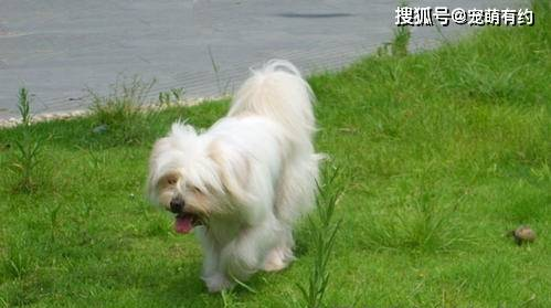 你知道吗?西施狗是北京贵宾犬和拉萨贵宾犬的