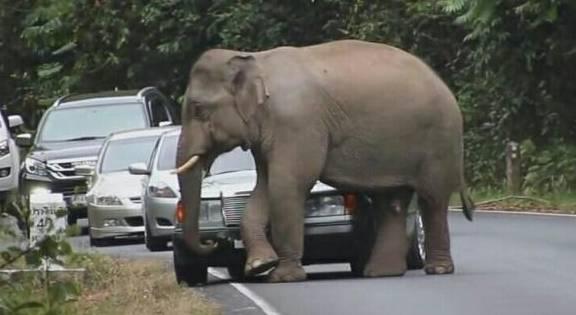 发情大象把过往汽车当发泄工具网友:交警都不好管