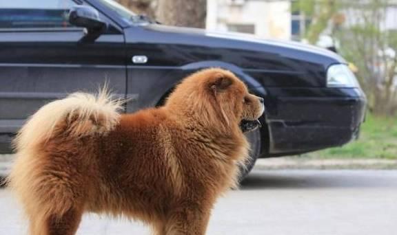 松狮狗毛茸茸的,很可爱,但它的几个缺