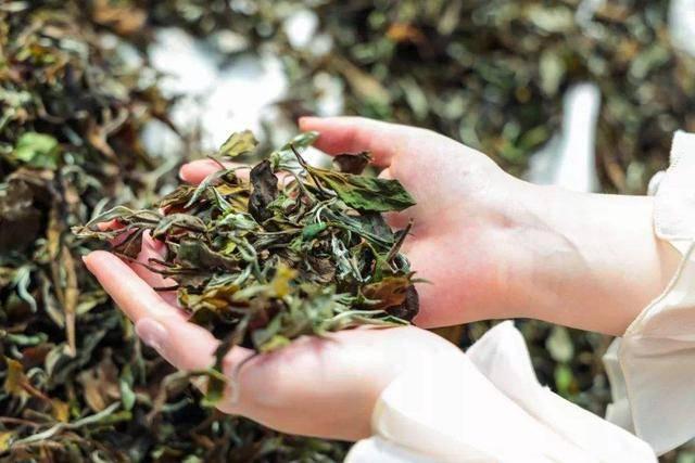 福鼎产的白茶比政和、建阳好在哪?