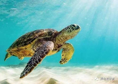 不应该饲养海龟做宠物,还是有理由的!