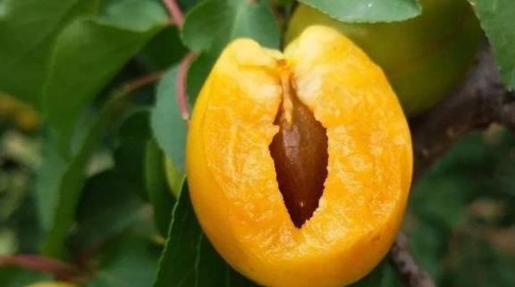 吃杏子的时候 不要做这些事情 也许你有经济支持