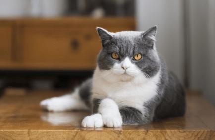 猫怎么发腮,猫咪发腮核心问题,