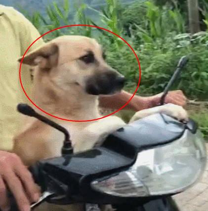 狗狗陪主人干完农活后 坐上摩托准备回家 狗子:准备好了 奔跑吧摩托车