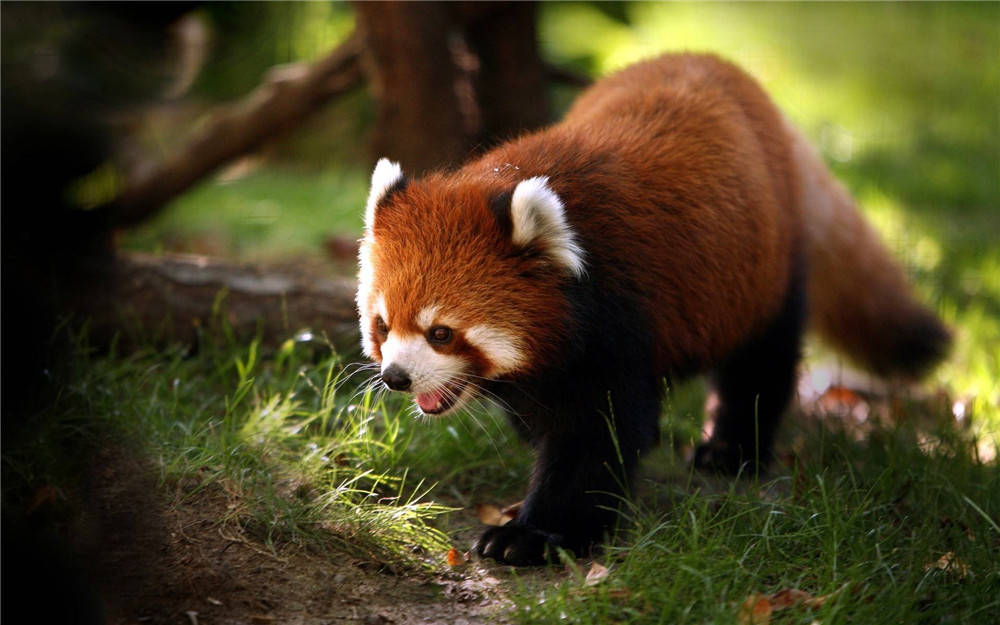 小熊猫和他的同伴打架 突然跑向大