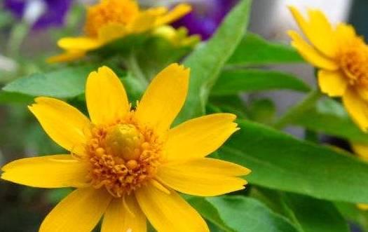1种花,比雏菊悦目,比太阳花更好养,落地就发芽,一开就是300天