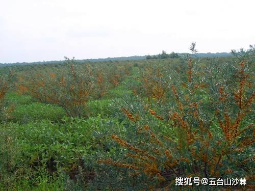 沙棘在中国的传播与历史