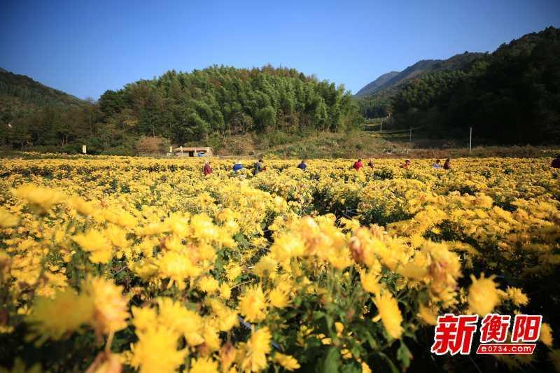 决胜2020:南岳600亩高山凰菊绽放 村民致富有门路