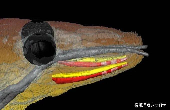 科莫多巨蜥的唾液有毒?靠毒液捕猎?科莫多巨蜥的迷与思!(图8)