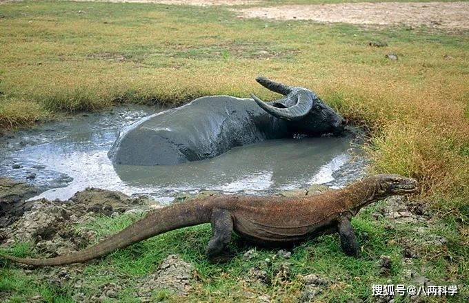 科莫多巨蜥的唾液有毒?靠毒液捕猎?科莫多巨蜥的迷与思!(图11)