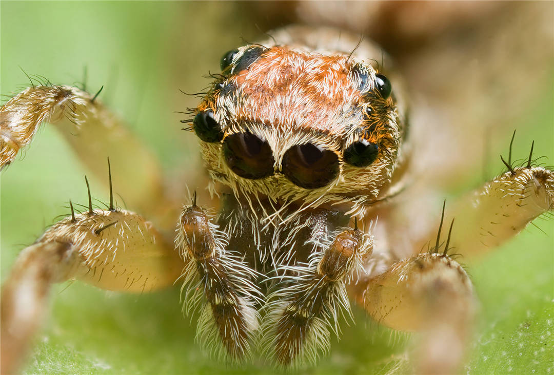 全世界最大的蜘蛛