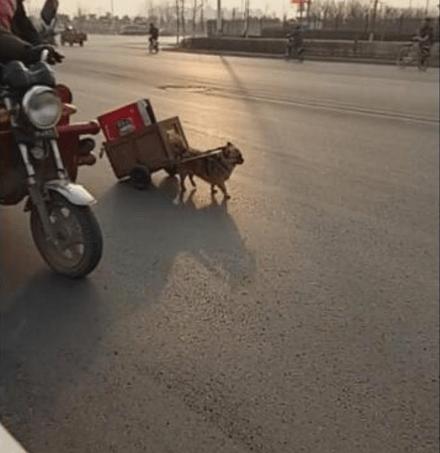 狗狗帮主人捡废品卖,自己拉着小车回家,乖巧又懂事!