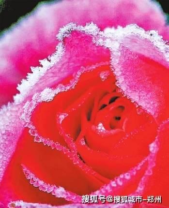 寒冬冰封时 犹有抱枝香 南阳月季何以花开四季?