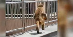 青岛某医院办公室,闯进一只猴子!连吃带拿之后,去了下一站!薅羊毛不能逮着一只…
