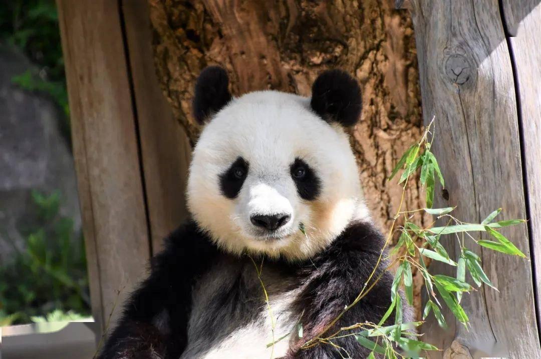 熊猫在日本的爱恨情仇