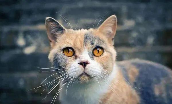 异国短毛猫 猫咪品种图片
