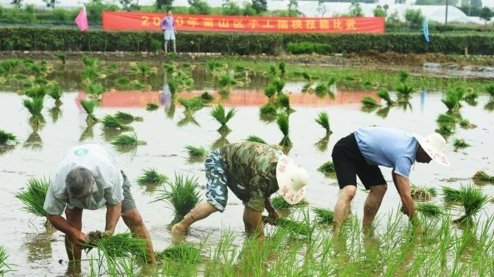 比拼手工插秧 展现传统耕作