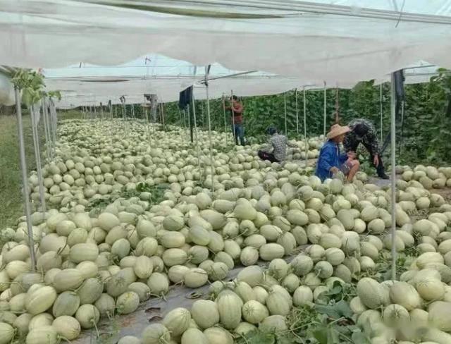一个大棚能产4000斤,收购价3元,种植户可以赚到钱吗