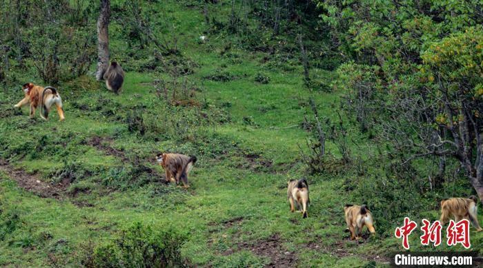 四川宝兴:牧民在林边草地偶遇游玩的川金丝猴群