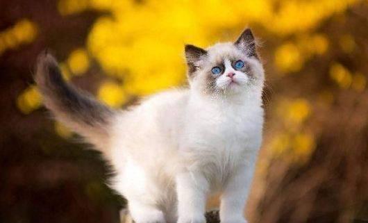 布偶猫的饲养方法图片