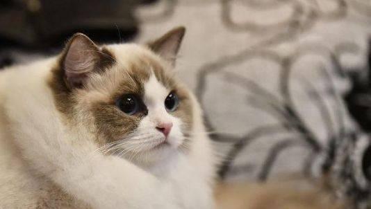 布偶猫多少钱一只幼崽图片