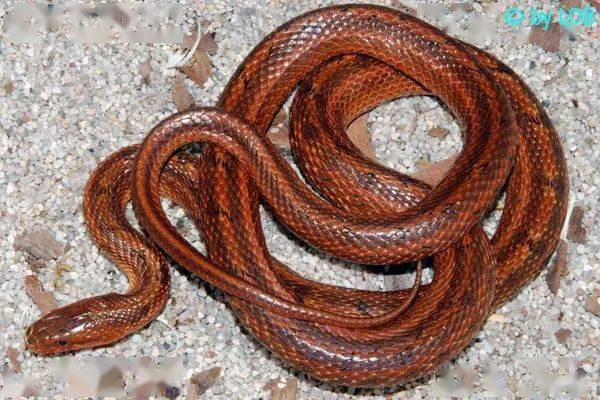 【从零开始养】白条锦蛇基础饲养指南 (图9)