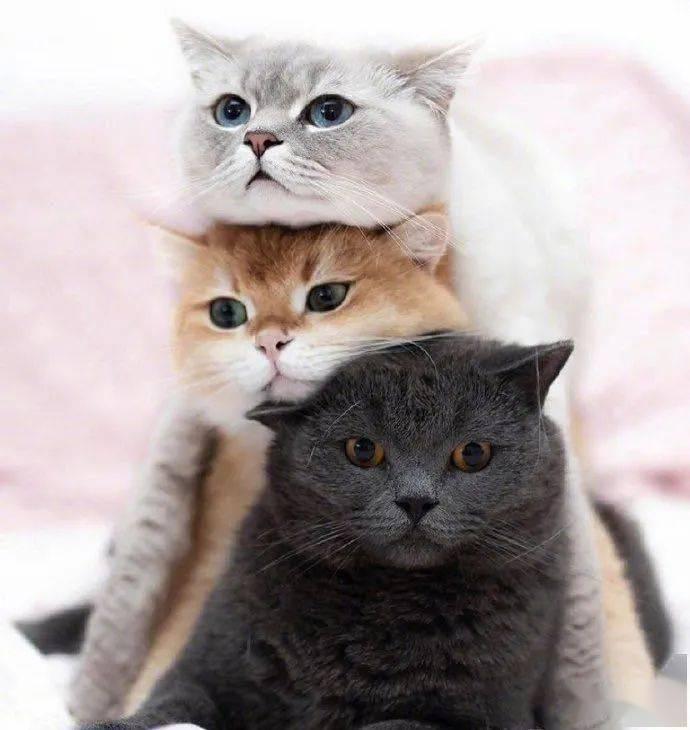 铲屎官家的三只猫咪,总是很喜欢叠罗汉图片