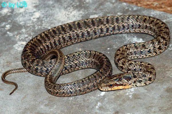【从零开始养】白条锦蛇基础饲养指南 (图8)