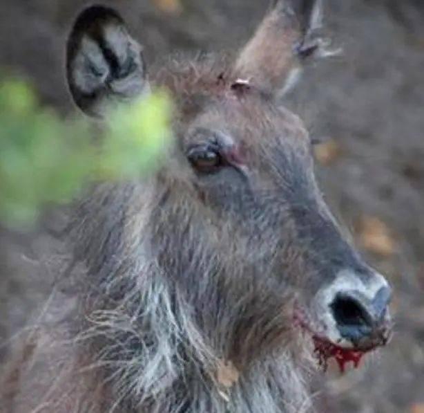 花豹快速给对着牛羚一招锁喉,首次失利后却受到牛羚那样的看待!