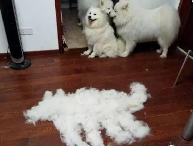 给萨摩耶剪完毛,拼成一个小萨摩,全体不敢靠近太怂了!