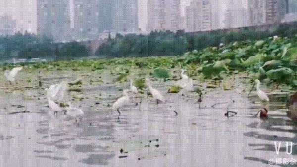 自由自在!南京玄武湖上白鹭齐飞!