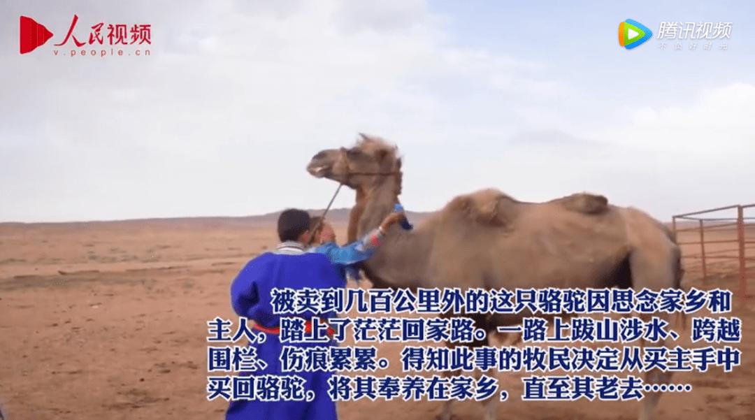 年迈骆驼被卖后独行100公里回家