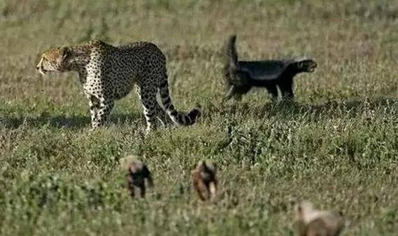 不平就干的平头哥挑战猎豹母子,历程猜到了,了局却没猜到!